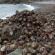 miles de cangrejos ermitaños migran de las costas de Nanny Point en las Islas Vírgenes.